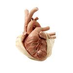 анатомическая модель сердце / для кардиологической хирургии / для торакальной хирургии / ребенок