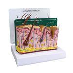 анатомическая модель кожи / старения