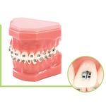 анатомическая модель прорезывание зубов